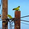 East County Amazons<br /> I was greeted this morning by the cacophonous squawks, squeaks, chirps, and screams of a wild flock of Amazon parrots.  These parrots have been living the foothills of San Diego's East County for many years and decided to visit my neighbor's orange tree for a snack.  They sure make for one heck of an alarm clock!