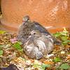 Backyard Doves_20200704_030