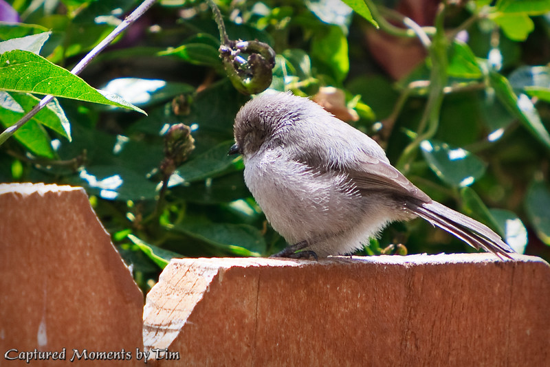Young Bushtit on the Fence
