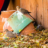 Backyard Doves_20200704_004