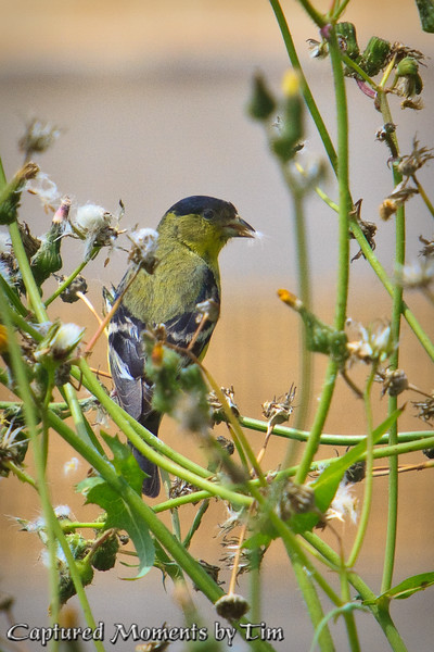 Goldfinch in the Weeds