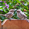 Bushtit Being Fed