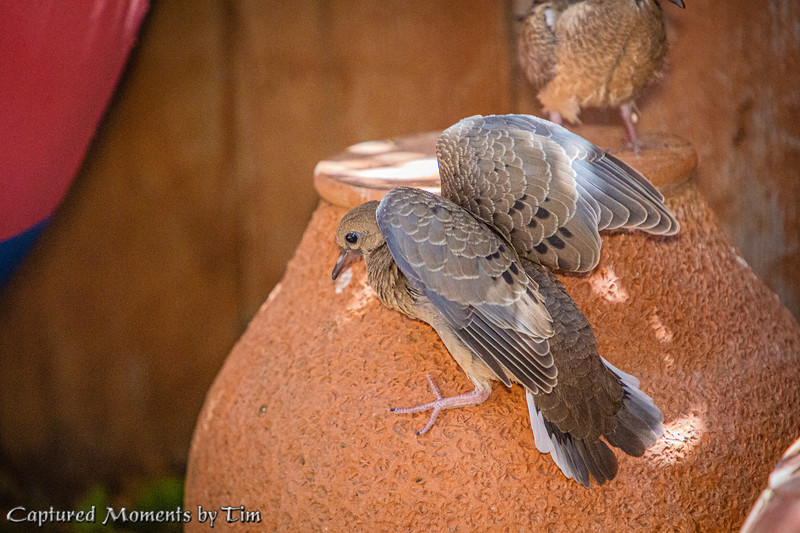 Backyard Doves_20200704_044
