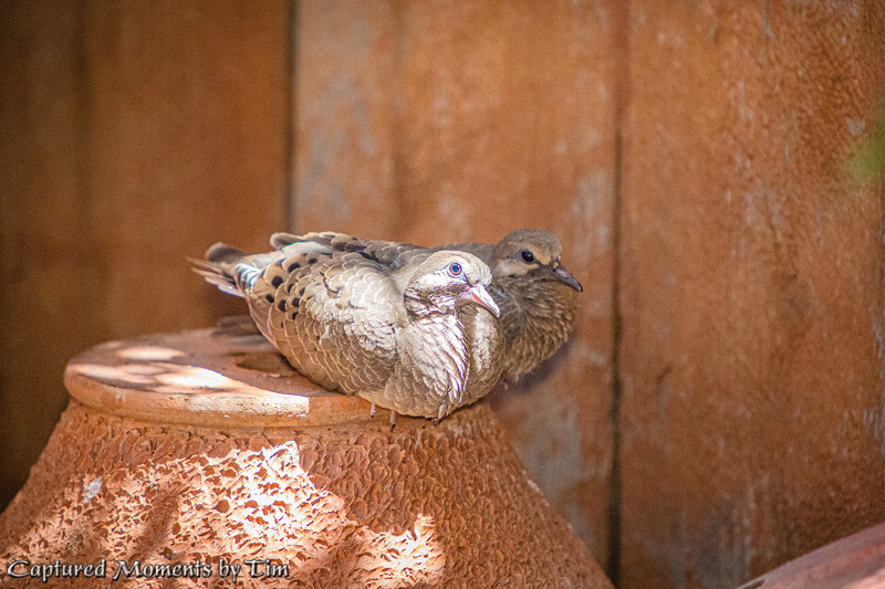 Backyard Doves_20200704_042