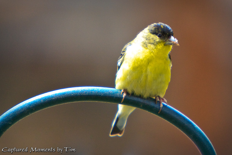 Perching Goldfinch