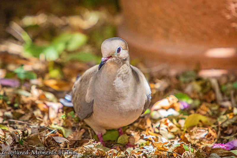 Backyard Doves_20200704_041