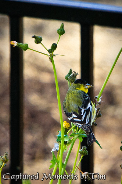 Breakfast with Goldfinches