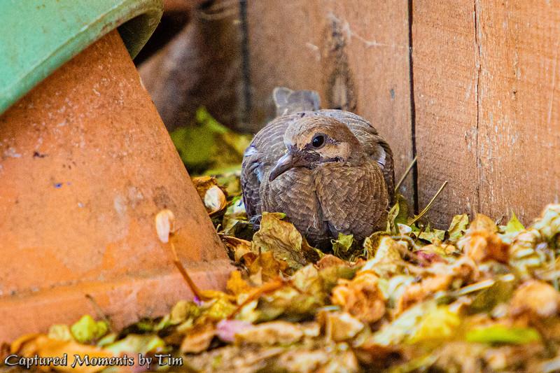 Backyard Doves_20200704_001
