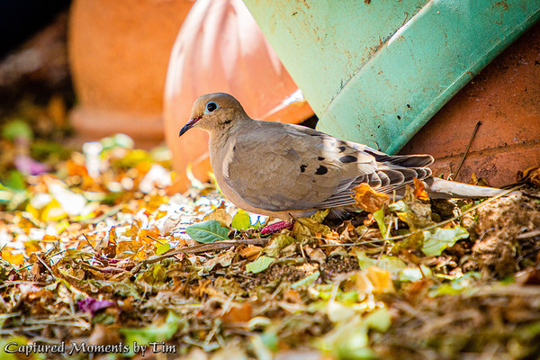 Backyard Doves_20200704_003