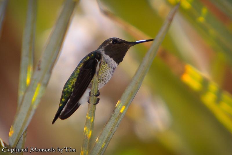 Hummingbird_20100904_005
