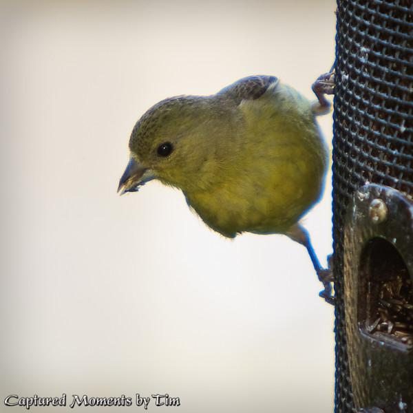 Sideways Goldfinch