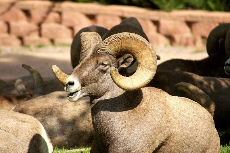 A stately Ram resting with the herd; Colorado Waterton Canyon.