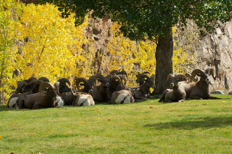 A herd of male Bighorn Sheep rest in the shade; Colorado Waterton Canyon.
