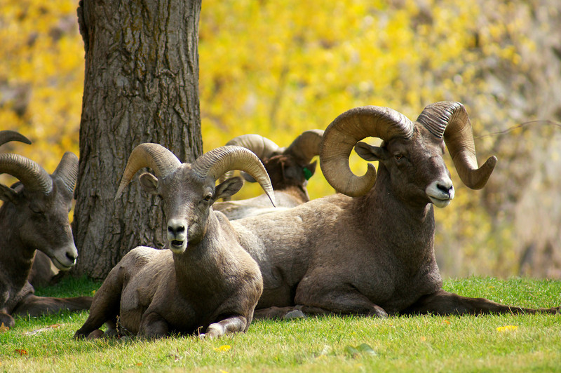 Male Bighorn Sheep resting in the grass; Waterton Canyon, Colorado.