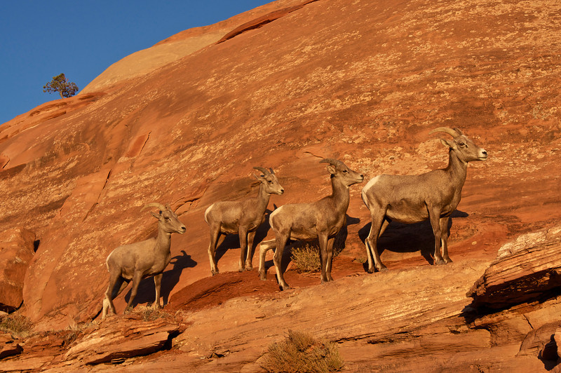 A group of female desert bighorn sheep bask in the early morning light on sandstone cliffs; Colorado National Monument