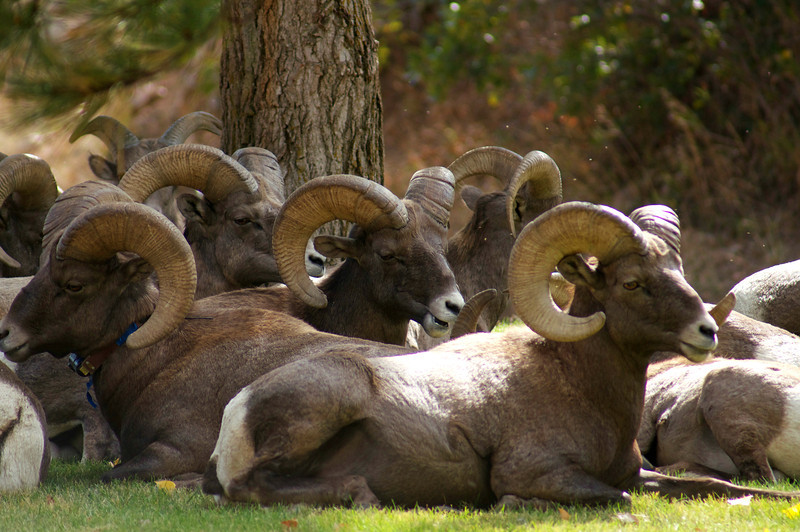 Rams resting in the grass just above Waterton Canyon, Colorado.