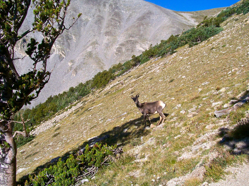 Female Bighorn Sheep just above treeline, east face of Mt. Shavano; Colorado Sawatch Range