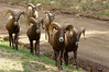 A curious herd of Rams follow their leader; the Colorado Trail.