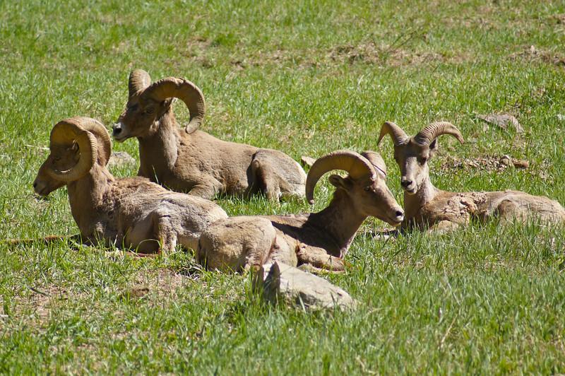 Male Bighorn Sheep near the Colorado Trail.