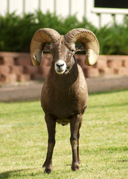 Bighorn Sheep staredown; Waterton Canyon, Colorado.