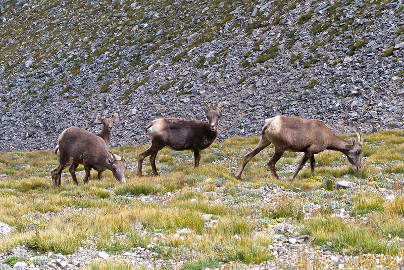 Bighorn Sheep, mom, baby and friends, in the east basin of Mt. Shavano; Colorado Sawatch Range