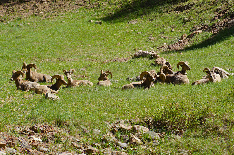 A herd of male Bighorn Sheep bask in the sun along the Colorado Trail.