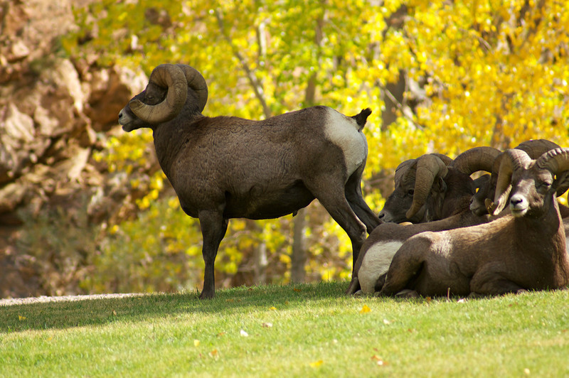Rams in the autumn; Waterton Canyon, Colorado.