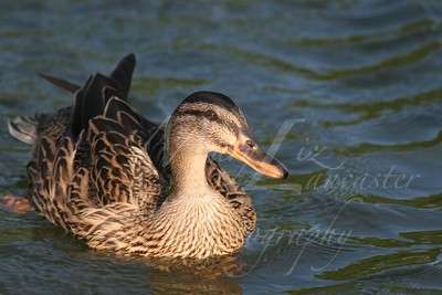 Duck_4576