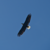 This Bald Eagle flyover was a special gift along the Gonzaga University Pilgrimage hike in northern Idaho, September, 2017.