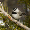 Mountain Chickadee; Rocky Mountain National Park, Colorado
