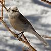 Gray Jay; Rocky Mountain National Park, Colorado.