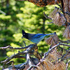 An elusive Stellers Jay in Rocky Mountain National Park, Colorado.