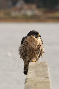 Peregrine Falcon_5698
