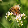 Fully Loaded Honey Bee