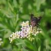 Horsefly on Quail Plant