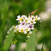 Hoverfly on Quail Plant