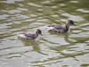 Horned Grebes (transitional plumage)