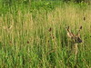 Two deers in the tall grass.