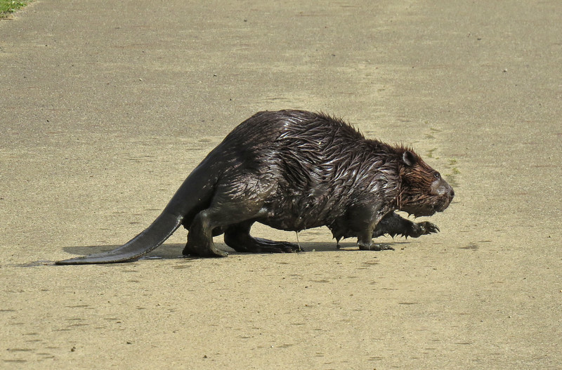Why did the Beaver cross the trail?