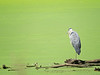 Great Blue Heron, great green algea....