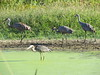 Sand Hill Cranes and a Great Blue Heron
