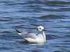 Bonaparte's Gull (immature)