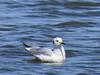 Bonaparte's Gull (immature)
