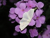 White Slant-line (Tetracis cachexiata)
