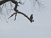 Red -Shoulderd Hawk (maybe)