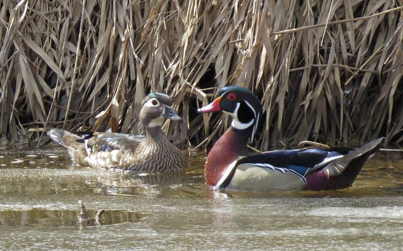 Wood Ducks along the Chippewa Inlet Trail, Medina, Ohio.