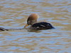 Hooded Merganser (hen)