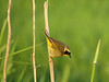 Common Yellowthroat