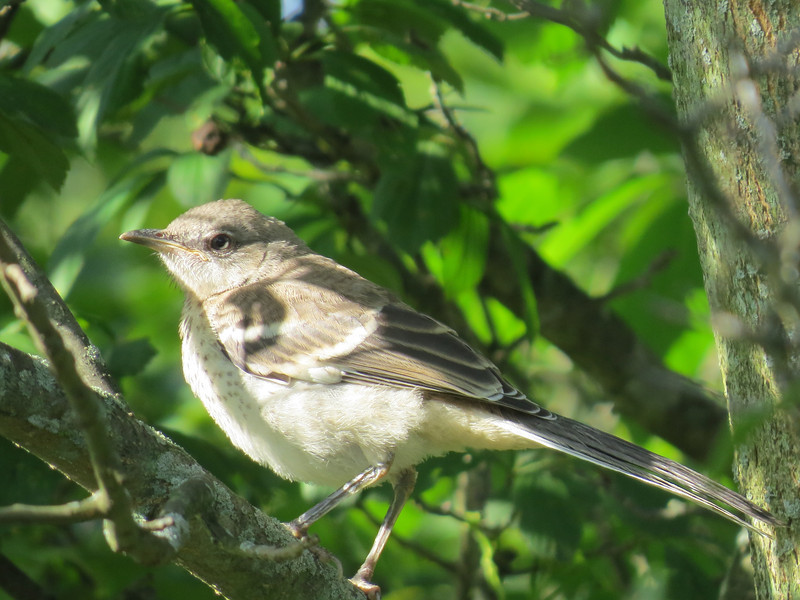 Northern Mockingbird (Chippewa Inlet Trail)