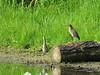 Green Herons